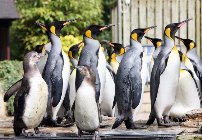 Penguins at Birdland, Bourton-on-the-Water