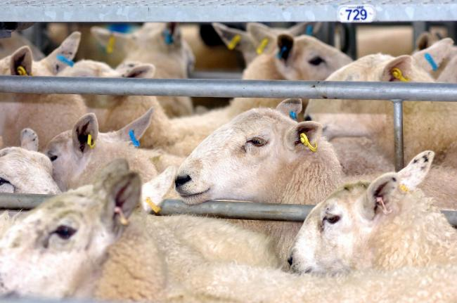 Sheep sale at Hereford Livestock Market, Roman Road, Hereford...134206-4.