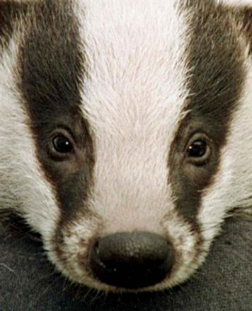 Badger cull is 'a shambles'