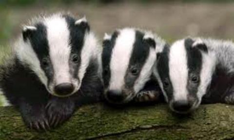 Badger cull debate