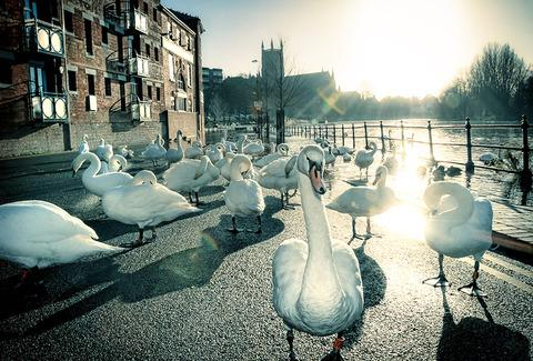 Cotswold Journal: swans at worcester, flood
