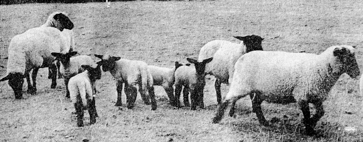 MULTIPLE BIRTHS: The cross-Suffolk ewes at Ab Lench which produced two batches of lambs.