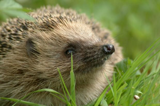 BETTER TIMES: For wildlife such as hedgehogs, last summer was a big boost.