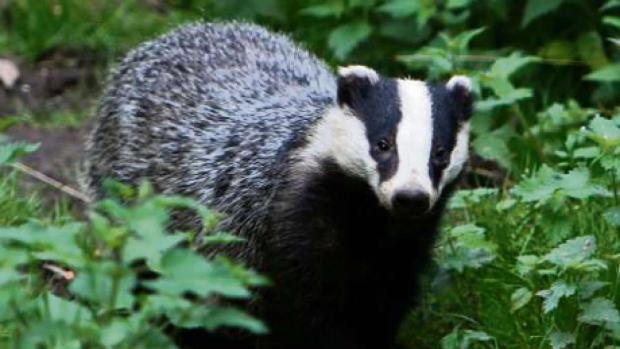 Cotswold Journal: Police commissioner to question policing of pilot badger cull