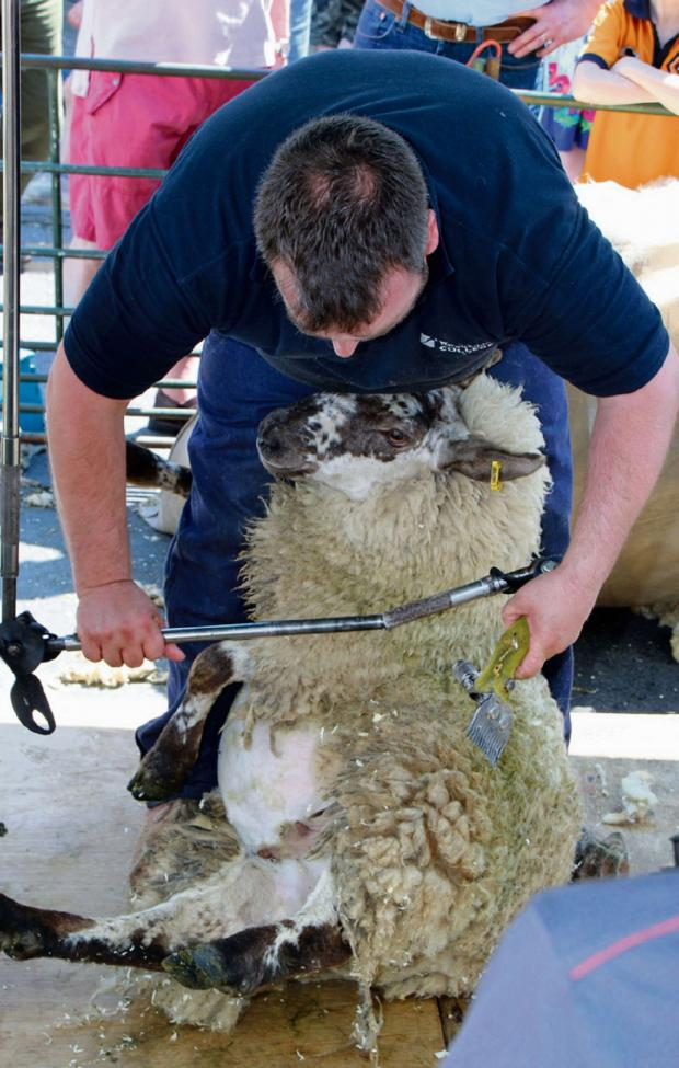 Cotswold Journal: Sheep shearing at last year's Shipston Wool Fair. Picture by Philip Vial.