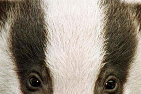 Cotswolds parliamentary candidate hits out at badger cull plans