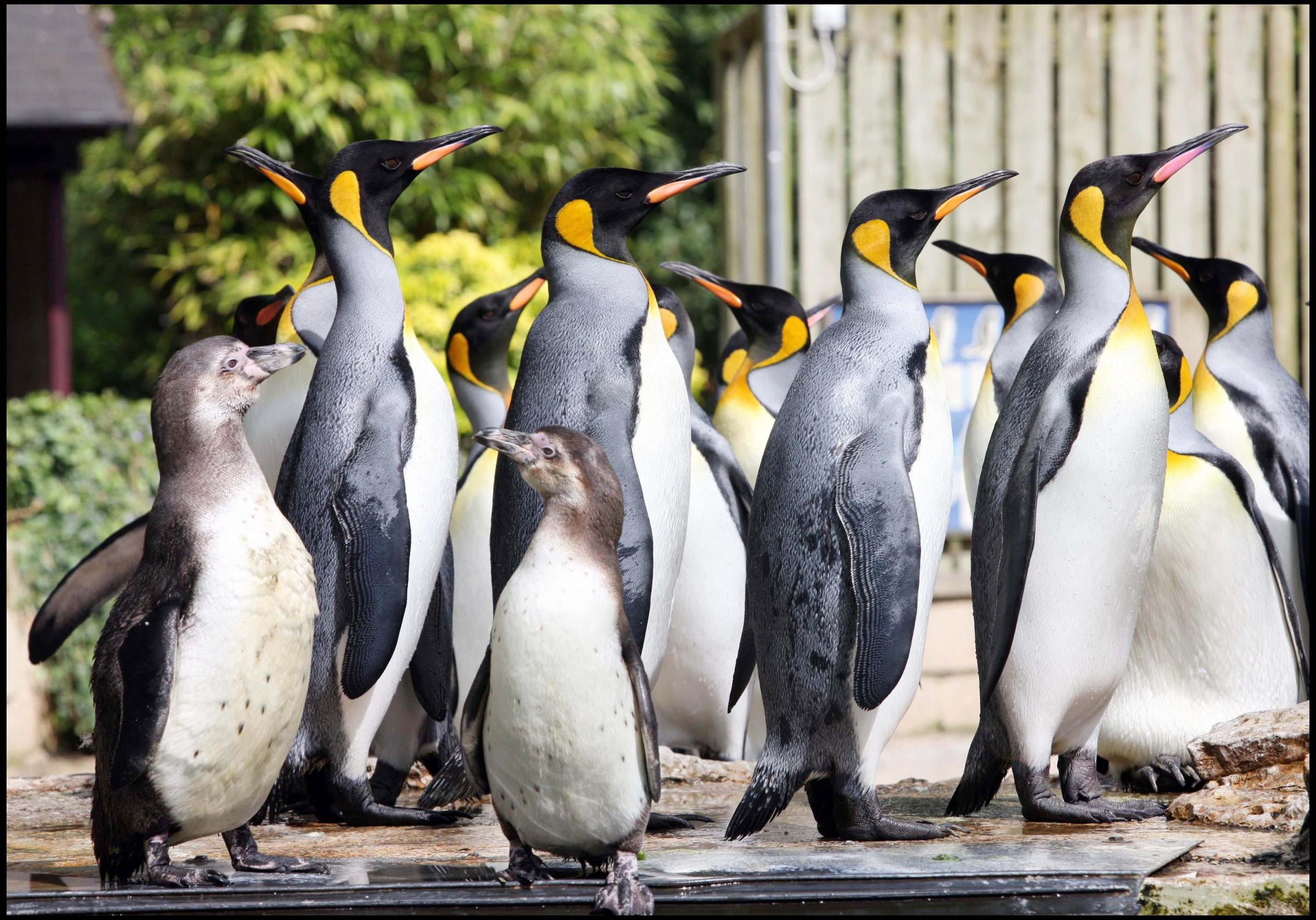 RARE: The king penguins at Birdland are the only colony in the UK.